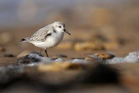 becasseau-sanderling