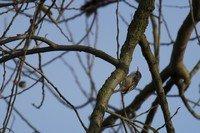 Grimpereau des bois coutez le chant cri melodie son - Chant fauvette des jardins ...