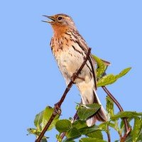 pipit-a-gorge-rousse